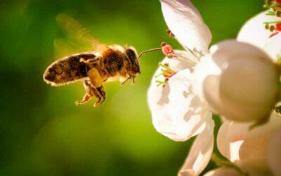 Una molécula del veneno de la abeja destruye el cáncer de mama