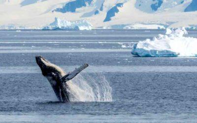Las ballenas regresan a los polos por primera vez en 40 años