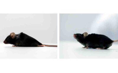 Logran que ratones paralizados debido a una lesión en la médula espinal vuelvan a caminar