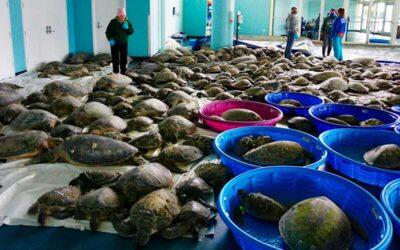 Casi 5.000 tortugas marinas rescatadas de la ola de frío en Texas