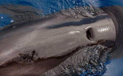 Tenerife es el primer Lugar Patrimonio de Ballenas de Europa
