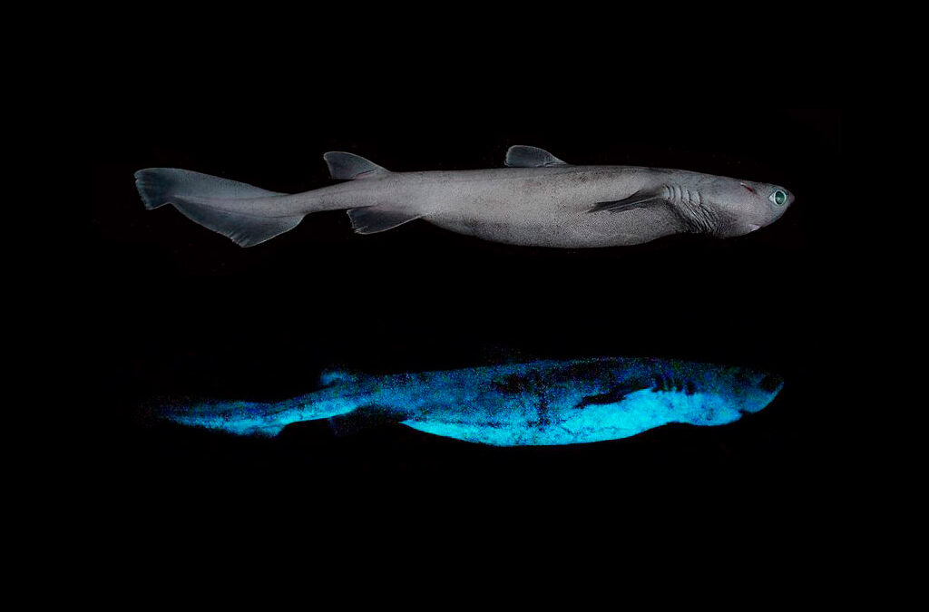 Descubren en Nueva Zelanda al tiburón luminoso más grande del mundo