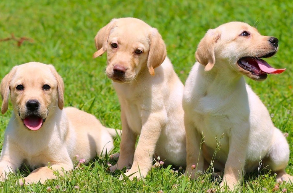 Descubren que los perros entienden a los humanos desde que son cachorros
