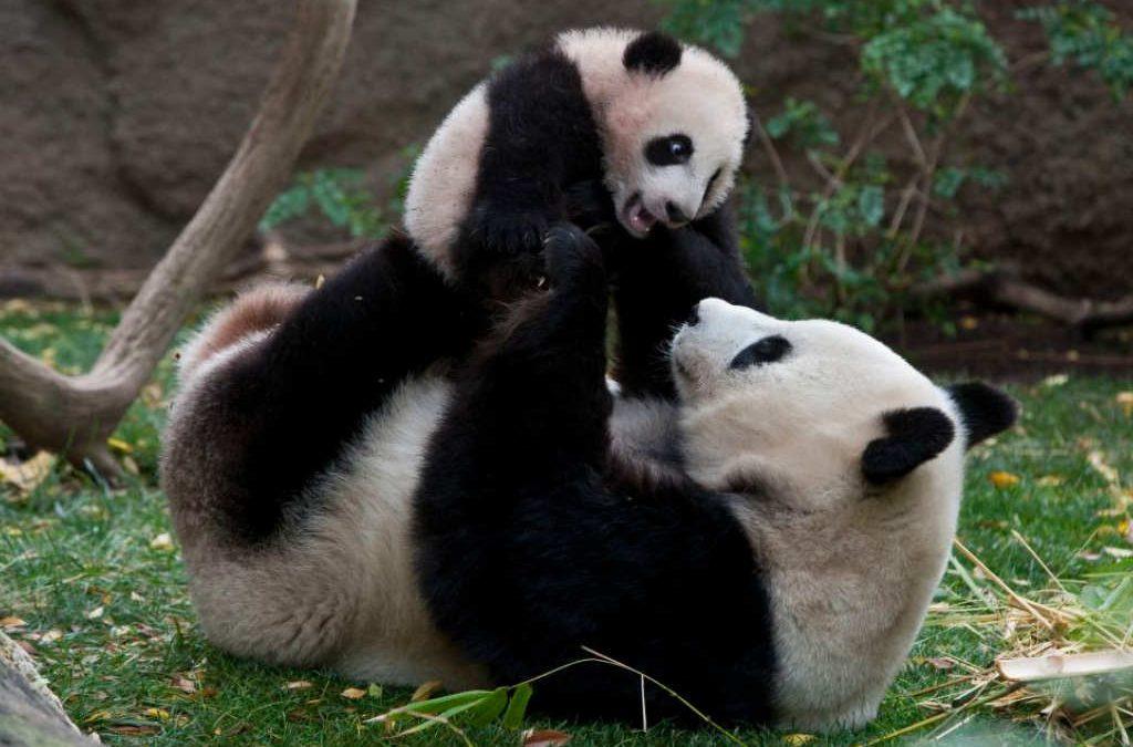 El oso panda gigante deja de estar en peligro de extinción