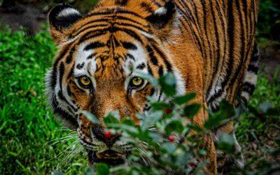 29 de julio, el Día Internacional del Tigre