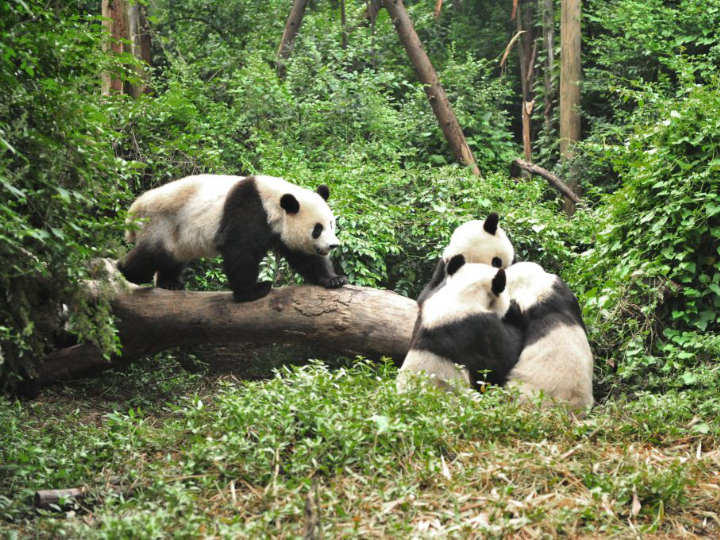 osos panda gigantes libres