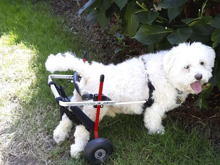 Sillas de ruedas perros