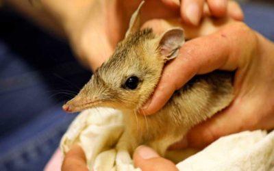 Los bandicuts han vuelto al Parque Nacional Australiano después de un siglo extintos