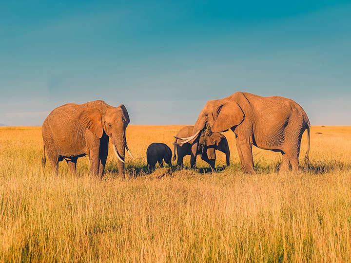 Aumenta el número de elefantes en Kenia
