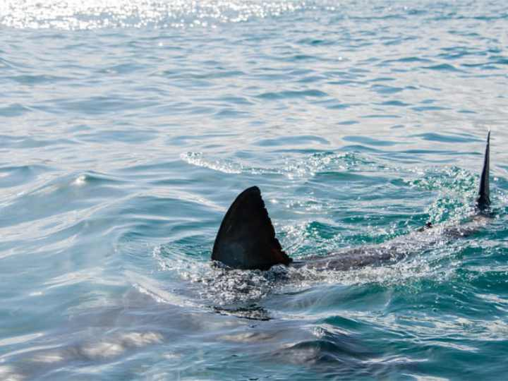 Compromiso para preservar las especies de tiburones
