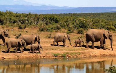 Kenia ha conseguido aumentar su población de elefantes de sabana