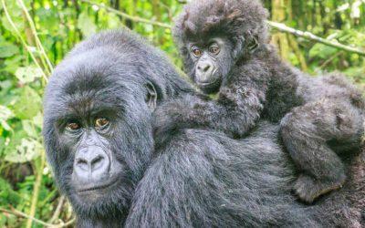 La población de gorilas de montaña aumenta un 71% en una década