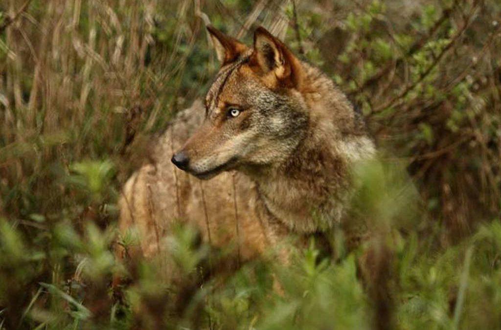 Ya es oficial: se prohíbe la caza del lobo en toda España