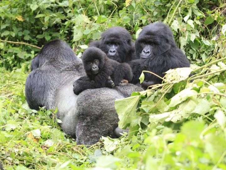 Una tropa de gorilas de montaña